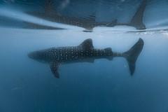 Whale shark - Requin baleine (Rhincodon typus)