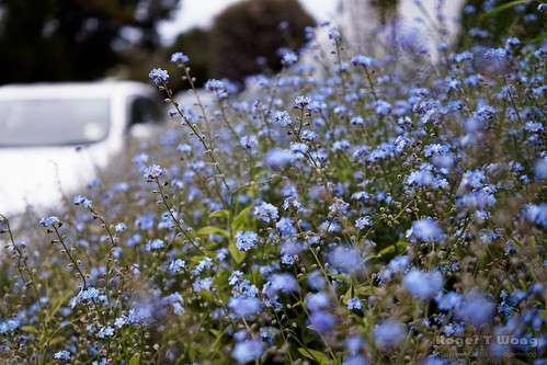 20210930-03-Forget me nots