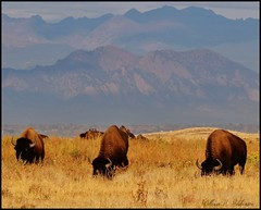 September 28, 2021 - Bison grazing on the plains. (Bill Hutchinson)