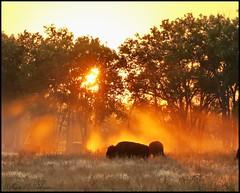 September 24, 2021 - Bison at sunrise. (Bill Hutchinson)