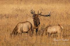 September 26, 2021 - Bugling elk bull in RMNP. (Tony's Takes)