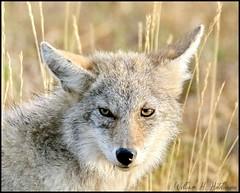 September 24, 2021 - Coyote up close. (Bill Hutchinson)