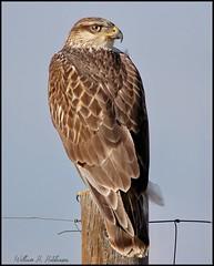 September 28, 2021 - Ferruginous hawk hanging out. (Bill Hutchinson)