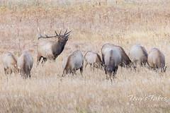 September 26, 2021 - Elk bull watching over his harem. (Tony's Takes)