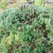 haircap (Polytrichum commune) / кукушкин лен