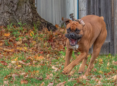 Boxer in a hurry