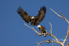 October 9, 2021 - Male bald eagle joins his mate. (Tony's Takes)