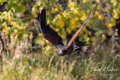 October 2, 2021 - Harris's hawk (captive) takes flight. (Tony's Takes)