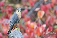 October 2, 2021 - Aplomado falcon (captive) in fall foliage. (Tony's Takes)