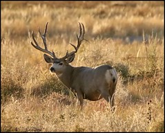 October 10, 2021 - A nice looking mule deer buck. (Bill Hutchinson)