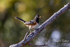 October 9, 2021 - Spotted towhee in Adams County. (Tony's Takes)