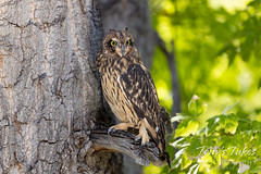 October 2, 2021 - Short-eared owl (captive) posting for pictures. (Tony's Takes)