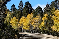 October 9, 2021 - Fall colors in Park County. (Bill Hutchinson)