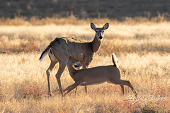 October 10, 2021 - Young white-tailed deer gets a snack from mom. (Tony's Takes)
