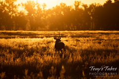October 10, 2021 - Deer buck silhouetted by sunrise. (Tony's Takes)