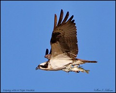 October 4, 2021 - Osprey with a catch. (Bill Hutchinson)