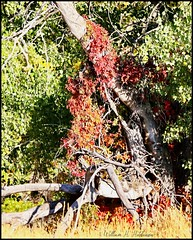October 4, 2021 - Bright red fall colors. (Bill Hutchinson)