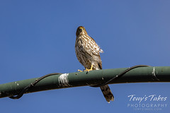 October 10, 2021 - Young Cooper's hawk keeping watch. (Tony's Takes)