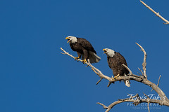 October 9, 2021 - Bald eagles make some noise. (Tony's Takes)