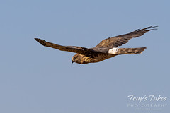 October 3, 2021 - Northern harrier on the hunt. (Tony's Takes)