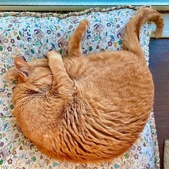 She curls up, body and #tail #cat #猫 #ネコ #ねこ #茶トラ #Redtabby #Orangetabby #Katze #chat #gatto #gato #feles #кошка #KAT #gato #ko?ka #kass #муур #pisic? #日本 #Japan #ivvaDOTinfo #ivva