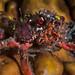 Spiny Majoid Spider Crab - Herbstia condyliata