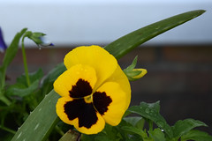 Yellow Pansy And Aloe Plant.
