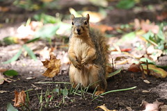 Fox Squirrels in Ann Arbor at the University of Michigan 286/2021 124/P365Year14 4872/P365all-time (October 13, 2021)