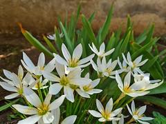 white zephyranthes