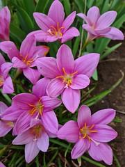 pink zephyranthes