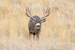 October 23, 2021 - A handsome mule deer. (Tony's Takes)