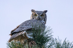 October 20, 2021 - Great horned owl in Thornton. (Tony's Takes)