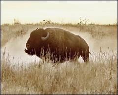 October 23, 2021 - Bison dusting off. (Bill Hutchinson)