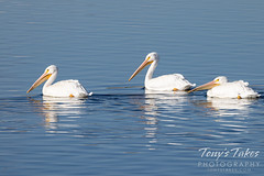 October 24, 2021 - Pelicans out for a swim. (Tony's Takes)