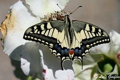 Papilio machaon (Linnaeus, 1758) (Luís Gaifém) Tags: macro butterflies lepidoptera borboleta mariposas schmetterlinge borboletas vlinders papillons fão 蝶 farfalle schwalbenschwanz papiliomachaon machaon oldworldswallowtail macaone 나비 motyle fjärilar borboletacaudadeandorinha бабочки sommerfugle fiðrildi fluturi sommerfugler פרפרים kelebekler makaonfjäril ritariperhonen махаон perhosia liblikad motýle drugeliai paźkrólowej makaon kırlangıçkuyruk otakárekfenyklový svalehale machaonas metulji pääsusaba pillangók fecskefarkúlepke πεταλούδεσ голямполумесец tauriņi lastovičar метелики svalestjert лептира vidlochvostfenyklový luísgaifém вітрильникпапіліймахаон