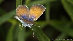 Western Pygmy-Blue R2811 San Clemente SB CA PFN (www.PhotographsFromNature.com) Tags: california blue butterfly pygmy insecta westernpygmyblue lepidopterabutterfliesmoths sanclementesb photographerjaycossey