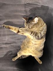 Ninja Cat (Coquine!) Tags: cat tommy