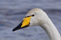 Whooper Swan (Dr Wood's Wildlife Photos) Tags: swan whooper cygnuscygnus