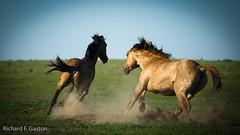 Wild Mustangs (HiDickBiker) Tags: mustangs wildhorses southdakota horse prairie mustang