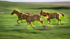 _222.jpg (HiDickBiker) Tags: mustangs wildhorses southdakota horse prairie mustang