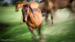 Leading the Way (HiDickBiker) Tags: mustangs wildhorses southdakota horse prairie mustang