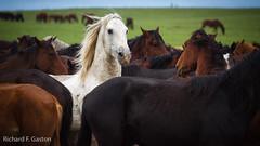 _223.jpg (HiDickBiker) Tags: mustangs wildhorses southdakota horse prairie mustang