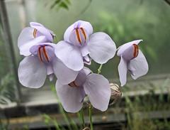 Photo of ????? Utricularia reniformis  [??????? Oxford Botanic Garden, UK]