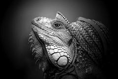 Mr.Igy (Zz manipulation) Tags: art flickrstruereflection2 flickrstruereflection3 ambrosioni zzmanipulation natura rettile portrait iguana
