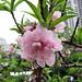 壽星桃 Prunus persica v densa  [香港花展 Hong Kong Flower Show]